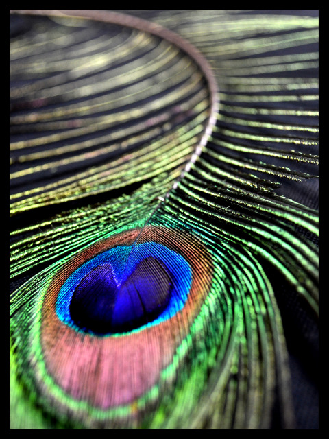 peacock feather knottyewes blog