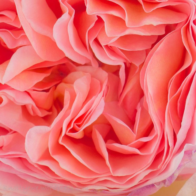 The soft contrasts and layers of petals on the English rose Abraham Darby.