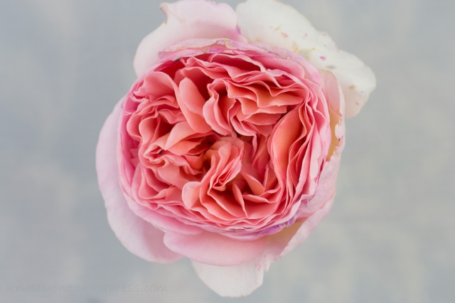 Original image of the English rose Abraham Darby.